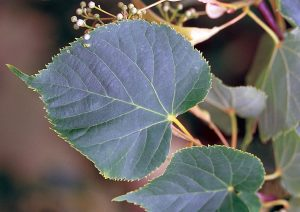 Photo of an american basswood leaf