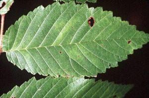 Photo of a slippery elm leaf