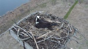Photo of an osprey sitting on a nest