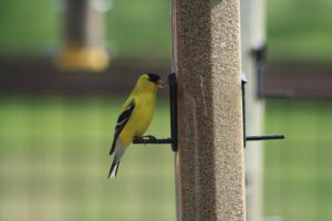 Photo of a goldfinch at a safflower feeder