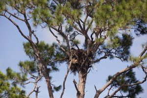 Photo of a bald eagle nest