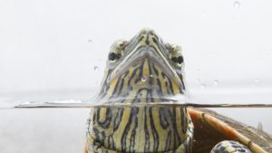 Photo of a painted turtle with its head sticking out above water