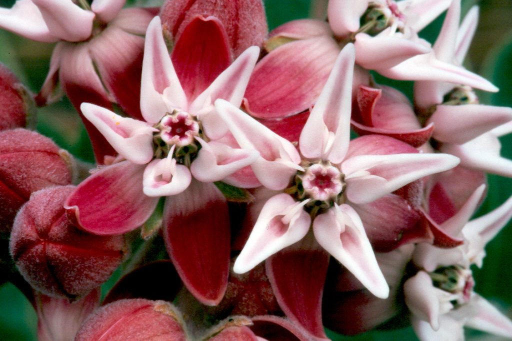 Photo of showy milkweed blooms