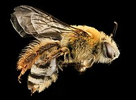 Photo of a squash bee