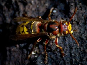 Photo of a hornet