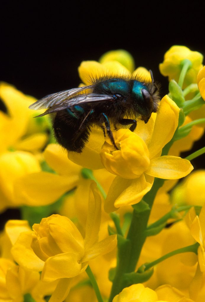 Photo of a blue bee