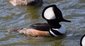 Photo of a hooded merganser