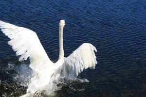 Photo of a trumpeter swan