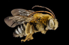 Photo of a long-horned bee