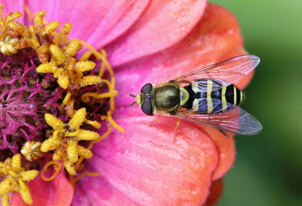 hover fly on a zinnia