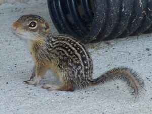 Photo of a 13-lined ground squirrel