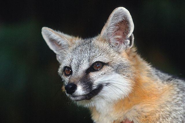 Photo of a gray fox