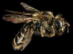 Photo of calliopsis bee