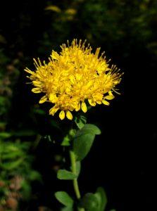 Photo of stiff goldenrod