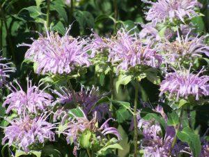 Photo of bergamot