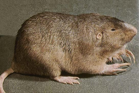 Photo of a plains pocket gopher