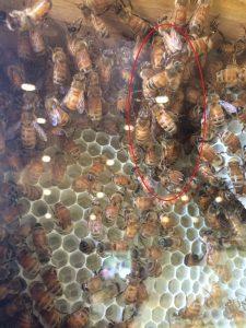 Photo of festooning bees