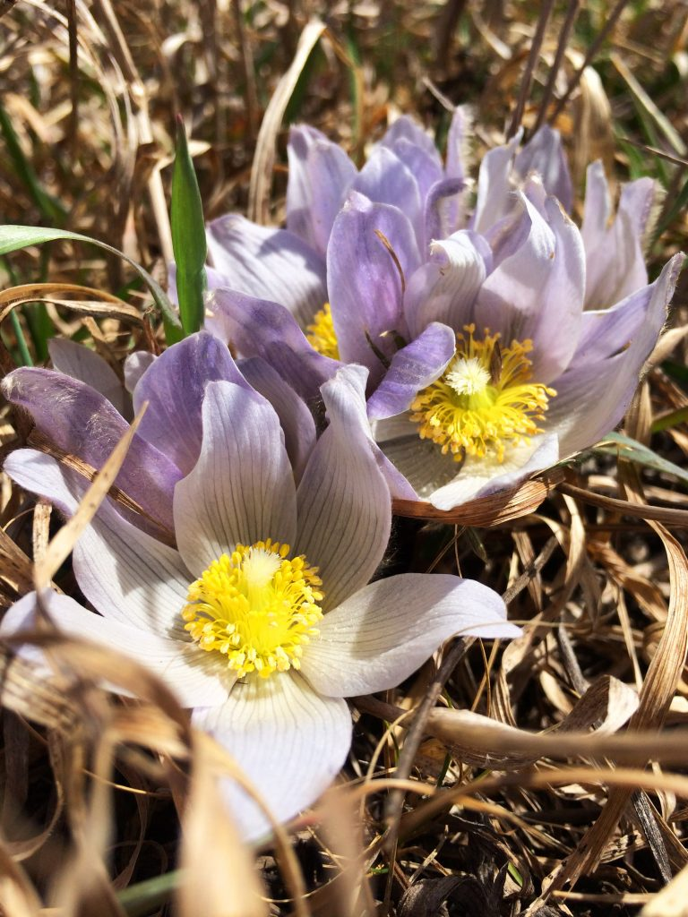 pasques flowers