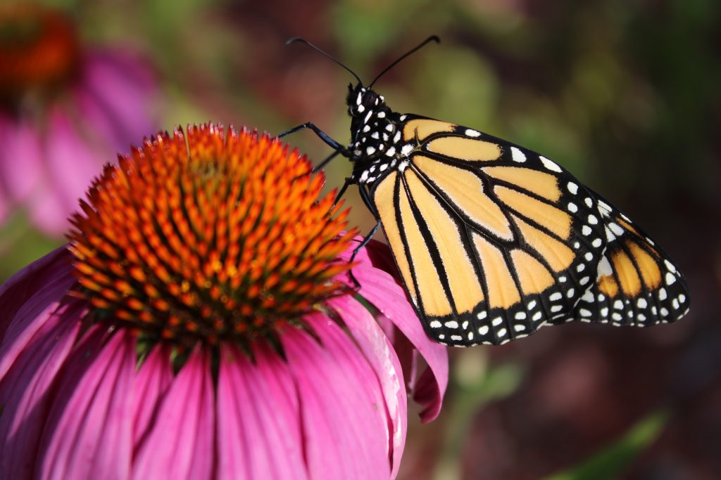 Photo of a monarch on a coneflower