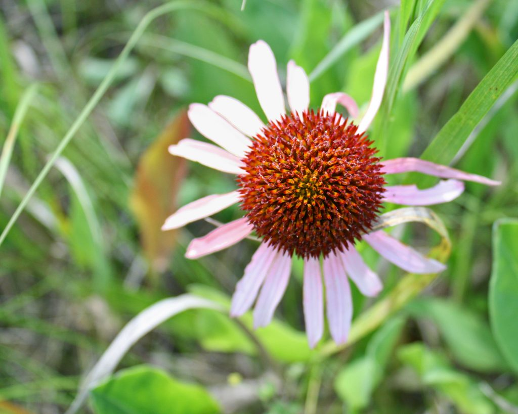 Photo of pale purple coneflower