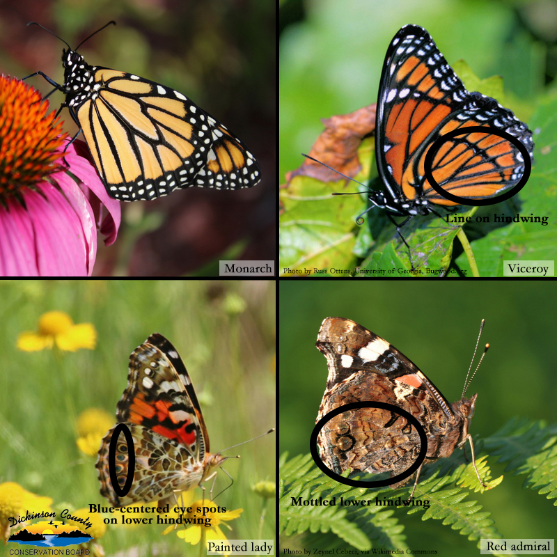 Graphic of four different butterflies