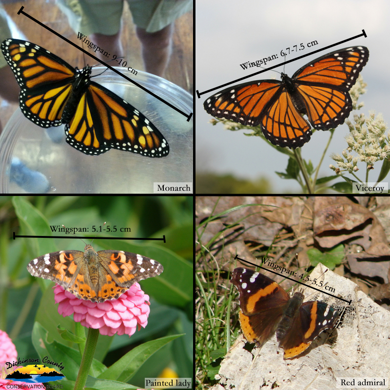 Graphic of four butterflies and their wingspans