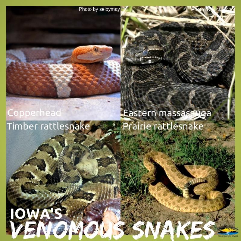 Photos of Iowa's venomous snakes