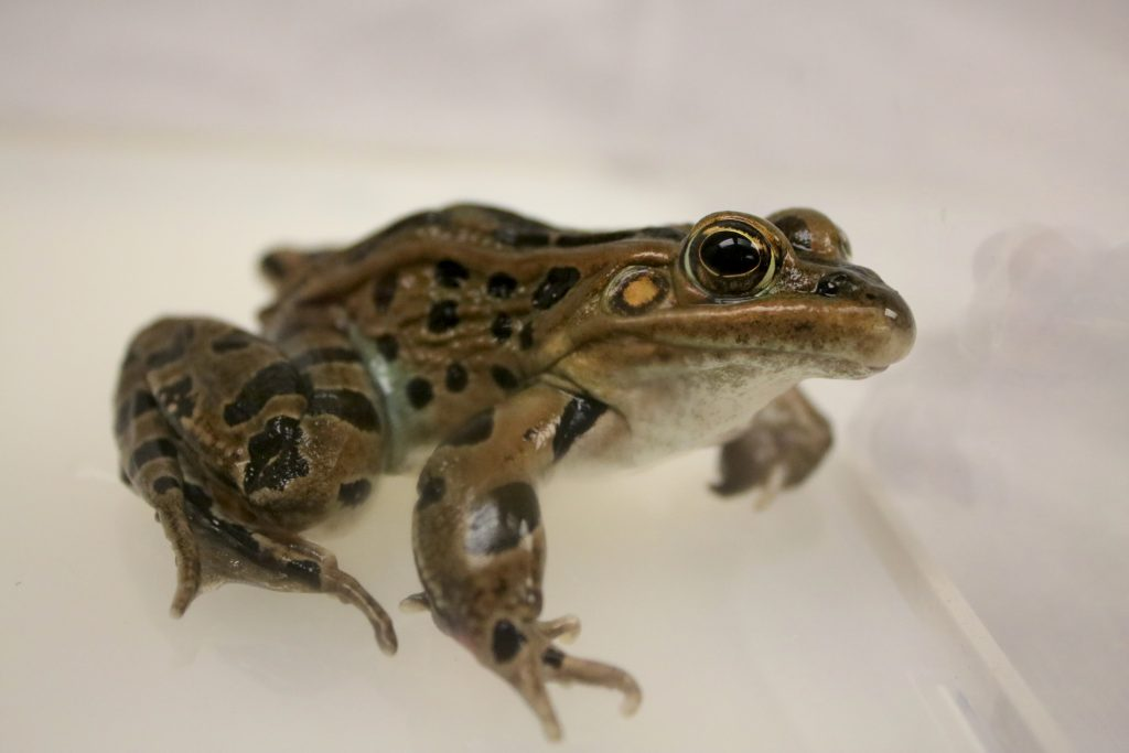 Photo of northern leopard frog