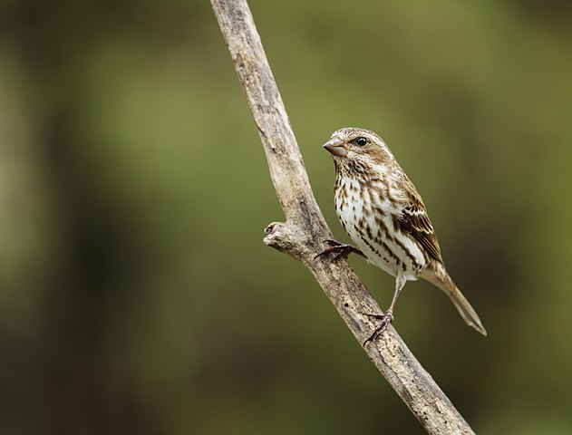 Photo of a female purple finch