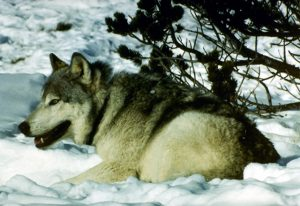 Photo of a gray wolf