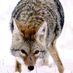 Photo of a coyote