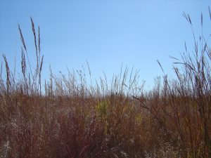 Photo of big bluestem