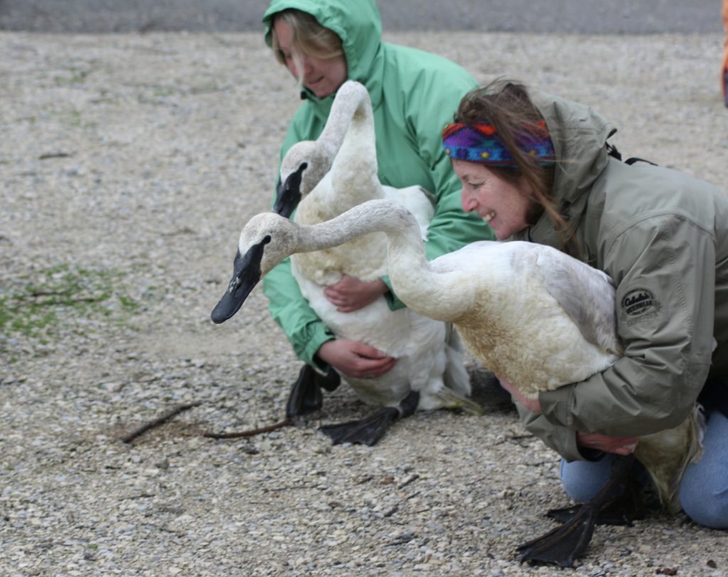Photo of swans being released