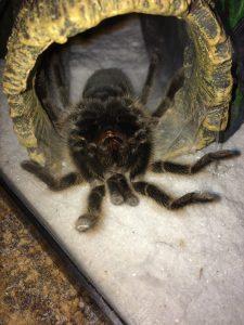 Pinki The Tarantula Molts Dickinson County Conservation Board
