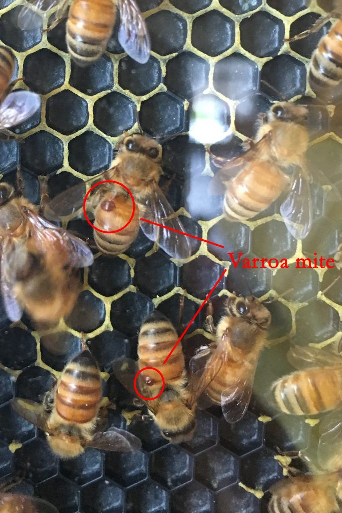 Photo of bees with varroa mites