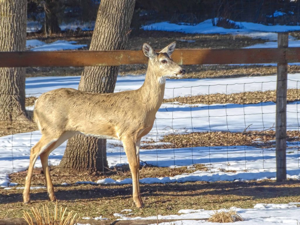 Photo of a doe