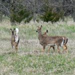 Photo of deer flagging tail