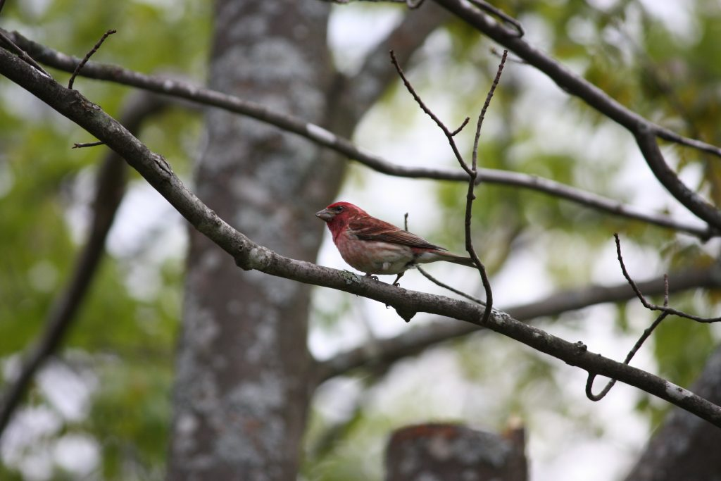Photo of a purple finch