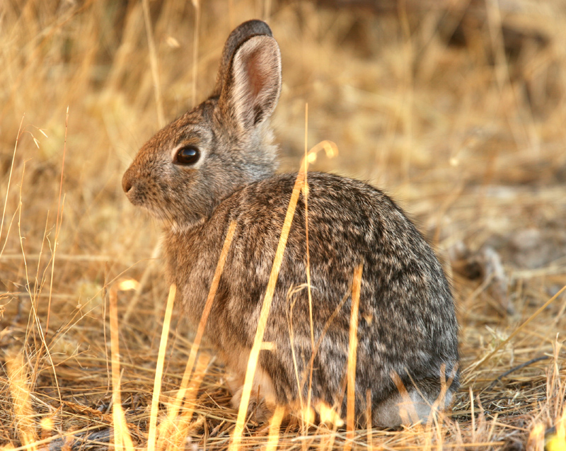 Photo of a cottontail rabbit