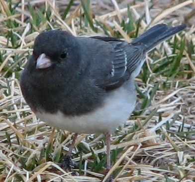 Photo of a slate-colored junco