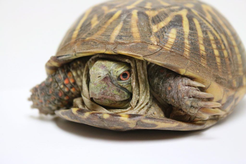 Photo of an ornate box turtle