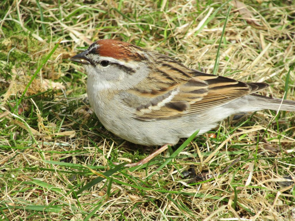 Photo of a chipping sparrow