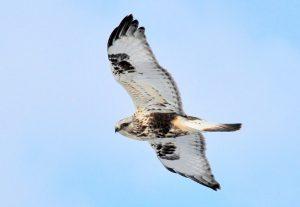 Photo of a rough-legged hawk