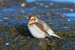Photo of a snow bunting