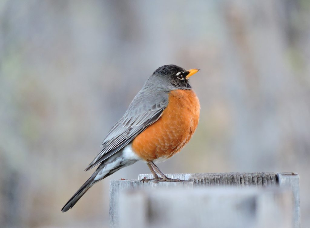 Photo of an american robin