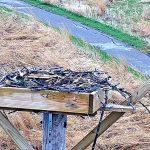 Photo of osprey on nest