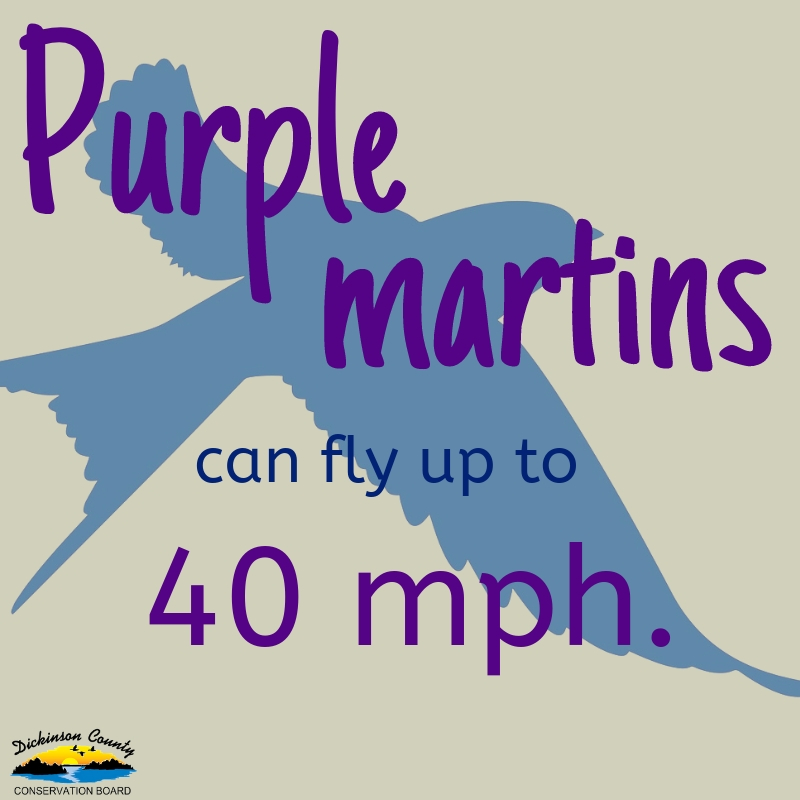 Graphic that says Purple martins can fly up to 40 mph