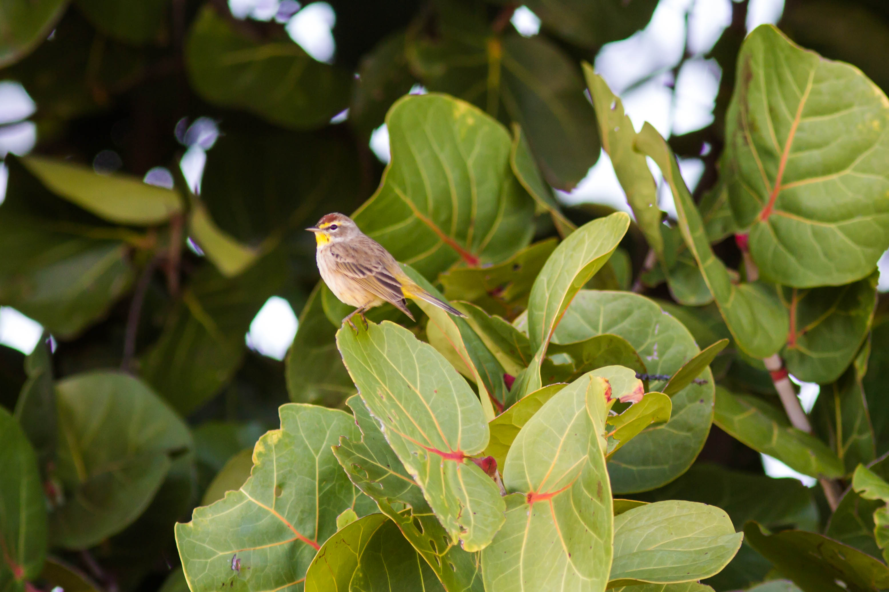 Photo of a palm warbler