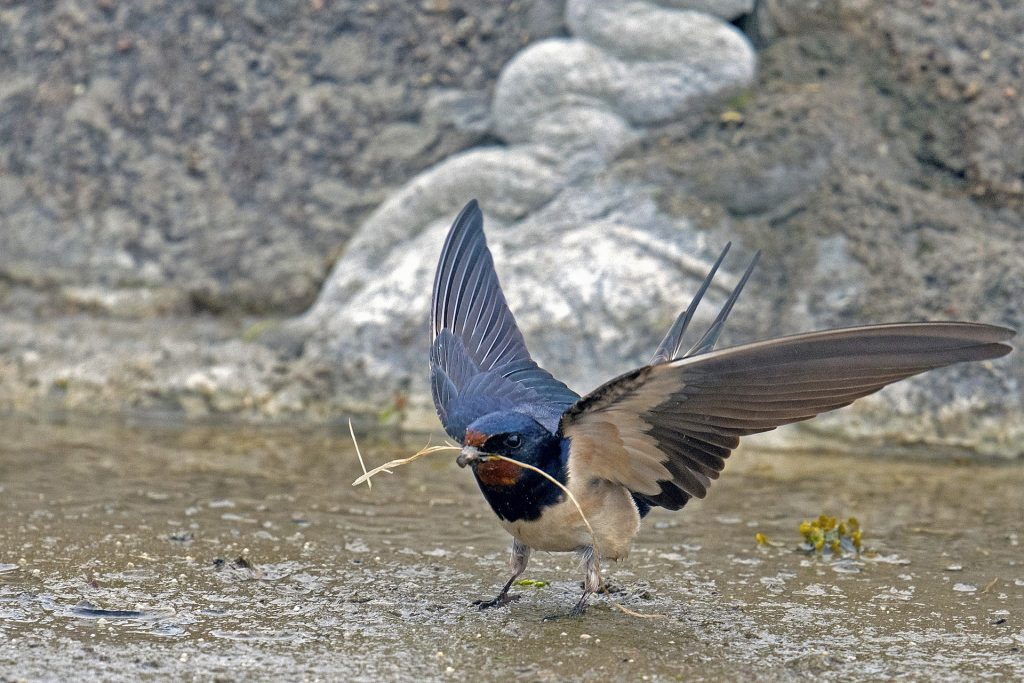 Four Iowa swallows - Dickinson County Conservation Board
