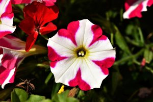 Photo of red and white petunia